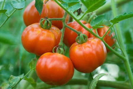 Red tomatoes on a branch in the greenhouse Stock Photo