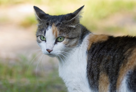 Beautiful tricolor cat walks on the nature
