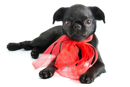 Black little puppy ,isolated on white background Stock Photo