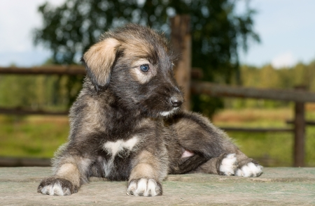 Irish wolfhound puppy lying on the table Stock Photo - 11179073