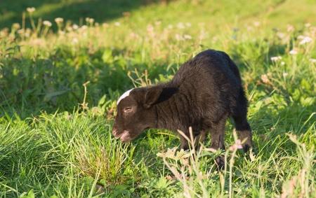 Lamb grazing in green meadow  Stock Photo