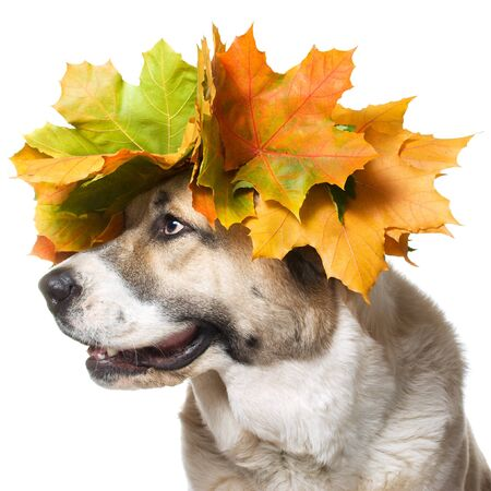 Dog in a maple wreath ,isolated on a white background
