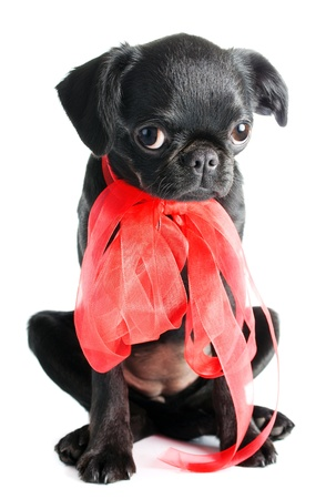 Little black puppy ,isolated on white background   Stock Photo
