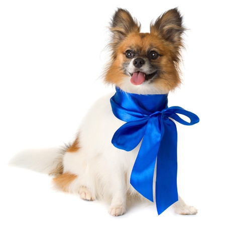 Papillon dog breed with a blue bow ,isolated on white background