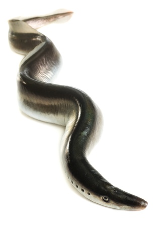 Fish lamprey, isolated on white background