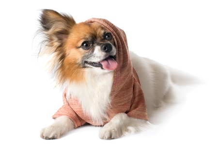 Papillon dog breed in the hood, isolated on white background