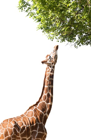 Giraffe takes food, isolated on white background Stock Photo