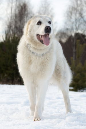Central asian shepherd dog breed is on the snow, tongue hanging out