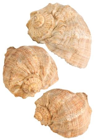 Three seashells,isolated on white background photo