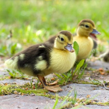 Group of little ducklings walking on a green meadow photo