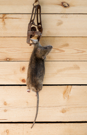 dead rat: Dead rat in a trap, against a wooden wall