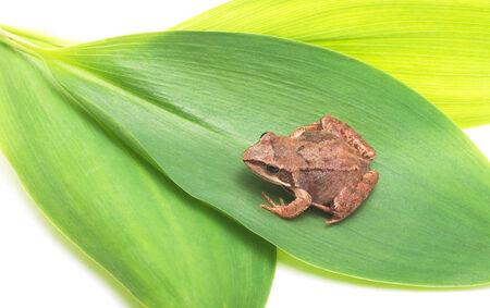 Frog sitting on a green leaf, white background