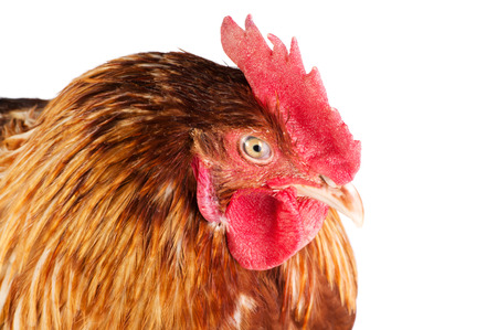 Cock head close-up, side view, isolated on white background