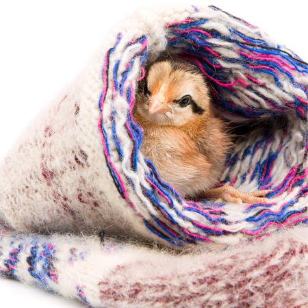 Small chicken sitting in a warm knit sock Stock Photo