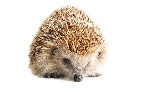 Portrait of a sad hedgehog, isolated on white background