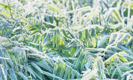 Beautiful winter background, frozen green plants Stock Photo