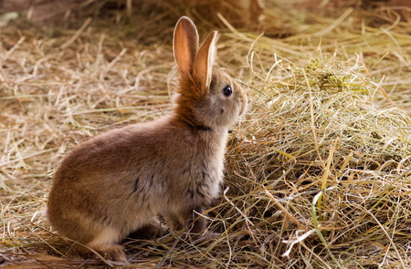 Young red rabbit sitting on the hay
