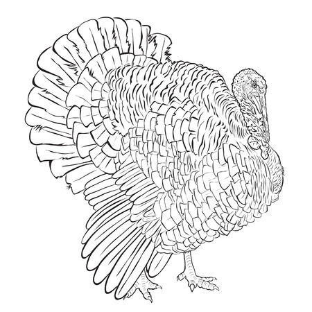 Adult black-and-white male turkey on white background