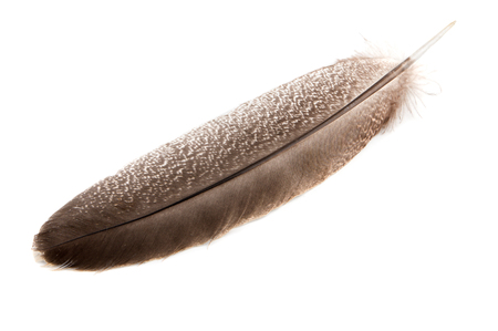 A feather from a turkey wing on a white background close-up, isolated