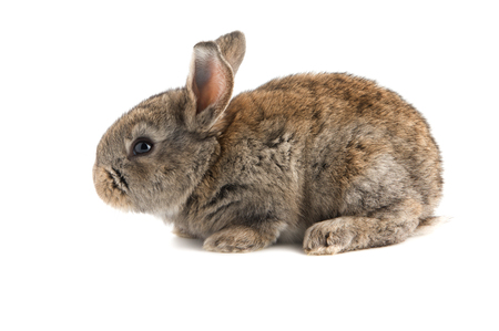 Small brown rabbit, side view, isolated on white background