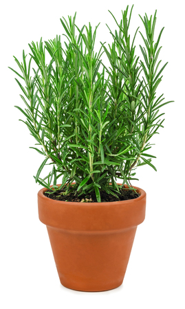 pot: Rosemary in a pot isolated on a white background