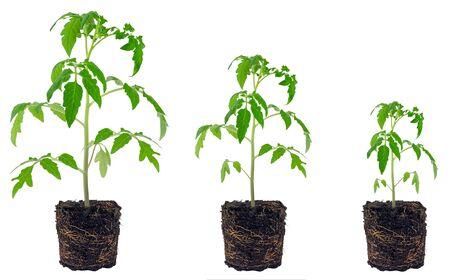 Evolution of tomato seedling isolated on white background