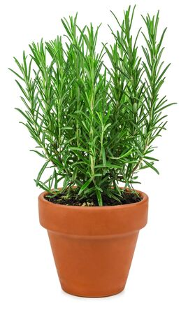 Rosemary in a pot isolated on a white background