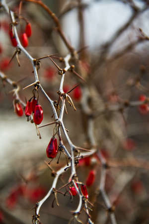 barberry: Decorative red prickly branch of barberry in the garden