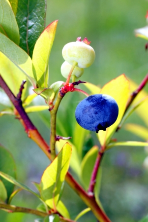 sapid: Closeup of fruit ripening blueberries on the bush