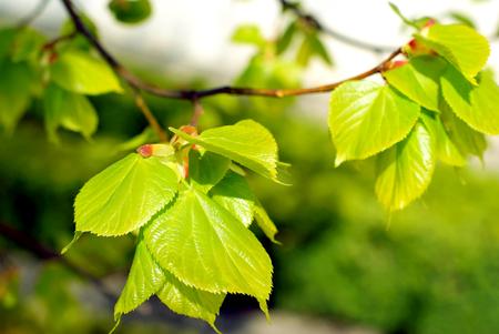 woodsy: Spring tree leaves
