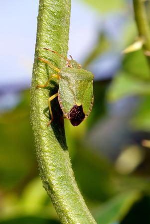 furtive: Crawly bugs-Palomena prasina  macro   Stock Photo