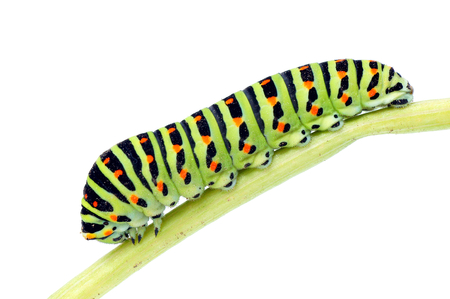 Caterpillar-Papilio machaon  Stock Photo - 22623712