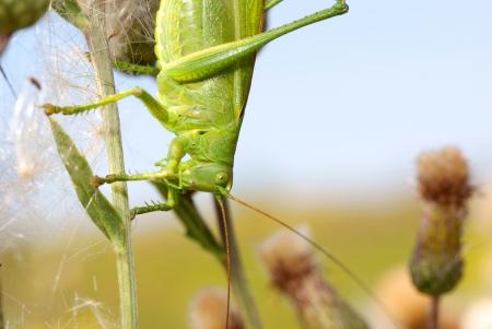 szarańcza: Green locust