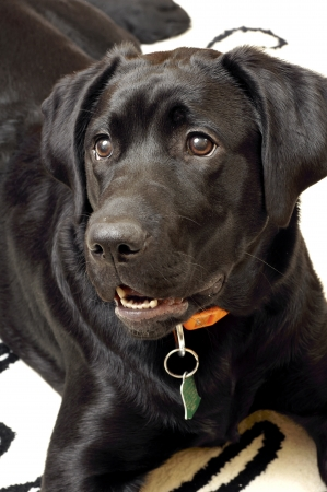 Dog-Labrador Retriever Stock Photo - 23006338