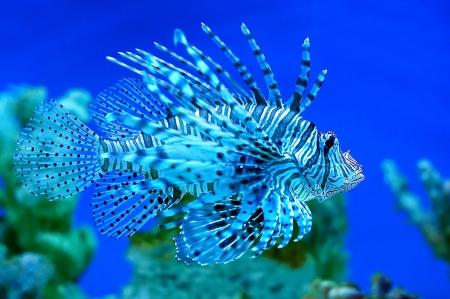 pterois volitans: Predatory fish  Pterois volitans  living in the ocean  Stock Photo