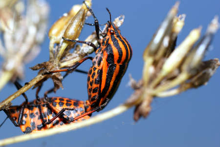 graphosoma: The red Shieldbug,Graphosoma lineatum,insect male and female,reproduction  Stock Photo