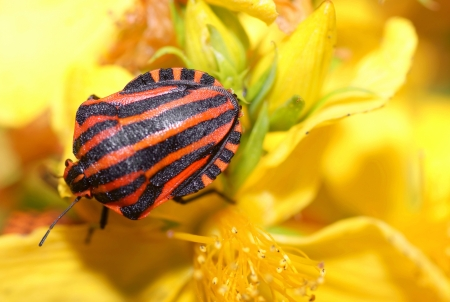 graphosoma: Graphosoma lineatum,The red Shieldbug,climbs on yellow flowers