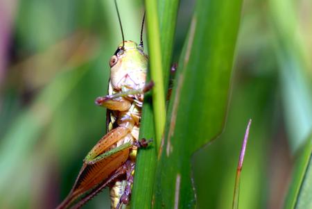 lesions: Grasshopper lesions on leaf
