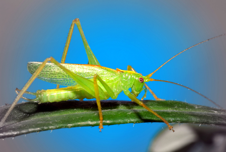 canny: Young green grasshopper