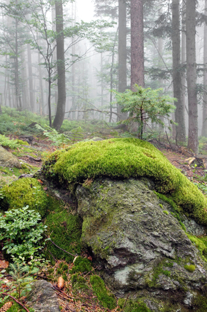 woodsy: Close-up of moss in the mountain forest which grows spruce.