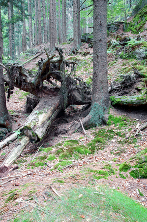 woodsy: Close-up on the root of which lies in the forest.