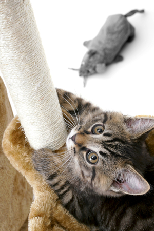 scratcher: Cat climbs scratcher. Stock Photo