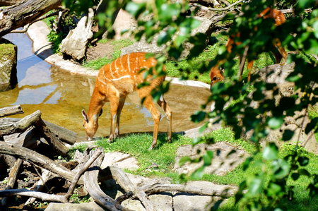 Deer drinking at the pond.
