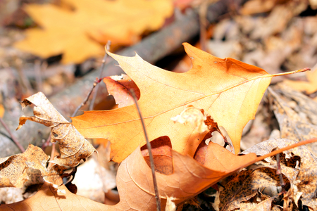 Autumn leaf fallen to the ground in the woods-closeup.
