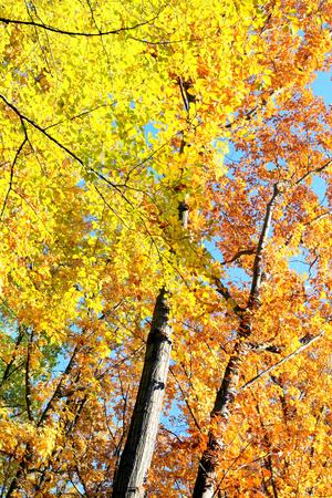 sylvan: Autumn trees.