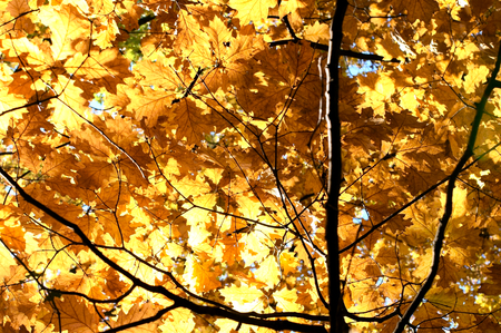 Backlight tree leaves in autumn.
