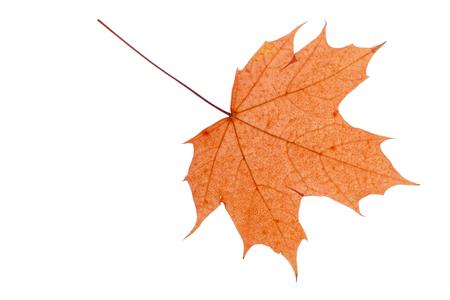 Dry autumn leaf isolated on white background.