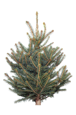 Spruce tree on a white background