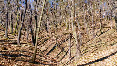 woodsy: Bare trees in forest .. Stock Photo