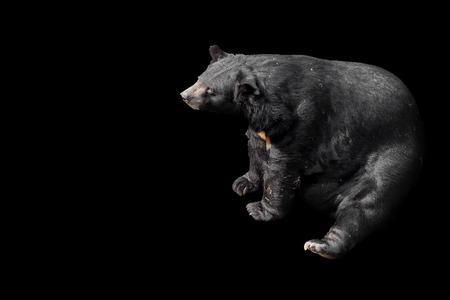 Bear in dark background. Banco de Imagens